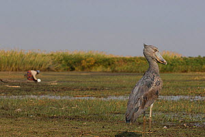 Shoebill (Balaeniceps rex) with person in the background, Bengweulu Swamp, Zambia  -  Cyril Ruoso