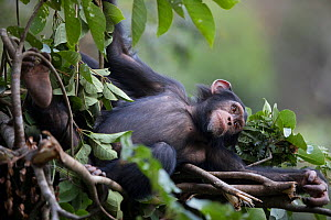 Chimpanzee (Pan troglodytes verus)  'Fanwaa' 5 years old juvenile male next to his mother in nest. Bossou, Republic of Guinea.  -  Cyril Ruoso