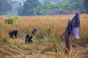 Chimpanzee (Pan troglodytes verus) troop feeding in field of rice, with scarecrow. The scarecrow doesn't work for more than a day or two. Bossou, Republic of Guinea  -  Cyril Ruoso