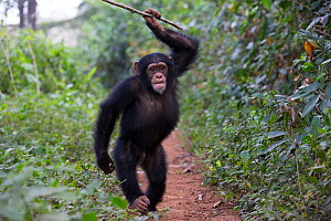 Chimpanzee (Pan troglodytes verus) 'Fanwaa' juvenile, age five, male is displaying in front of the observers, throwing sticks. Bossou, Republic of Guinea  -  Cyril Ruoso