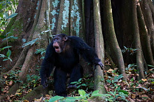 Chimpanzee (Pan troglodytes verus) 'Jeje' adult male displaying just before drumming on the buttress of a tree. Bossou, Republic of Guinea  -  Cyril Ruoso