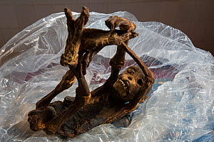 Chimpanzee (Pan troglodytes verus) mummified juvenile which was carried for several weeks after death by his mother.  Bossou, Republic of Guinea  -  Cyril Ruoso