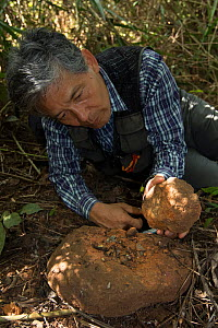 Professor Matsuzawa, primatologist, in the field with stone hammer and anvil tool used by local Chimpanzees (Pan troglodytes verus) Bossou, Republic of Guinea. December 2012. - Cyril Ruoso