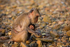 Long-tailed macaque (Macaca fascicularis) female with baby, using stone to crack open shell in intertidal zone,  Koram island,  Khao Sam Roi Yot National Park, Thailand. - Cyril Ruoso