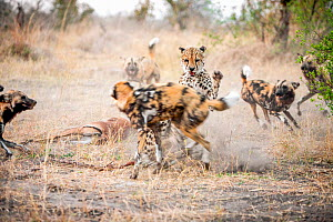 African wild dogs (Lycaon pictus) five attack a Cheetah (Acinonyx jubatus) defending its Impala kill.  Linyanti Wildlife Reserve, Botswana. - Karine Aigner