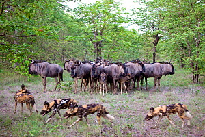 Blue wildebeest (Connochaetes taurinus) huddled together in a circle, protecting each other from a pack of four African wild dogs (Lycaon Pictus).  Botswana. - Karine Aigner