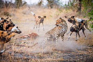 Cheetah (Acinonyx jubatus) trying to fight off a pack of African wild dogs (Lycaon Pictus) from stealing Impala prey in Linyanti Wildlife Reserve, Botswana. - Karine Aigner