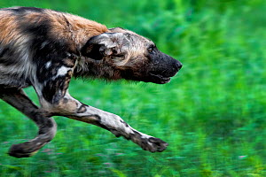 Portrait of an African wild dog (Lycaon Pictus) running on green grass, Zimbabwe. - Karine Aigner