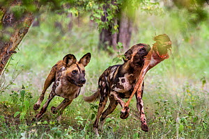 African wild dog (Lycaon Pictus) chasing a pack member to steal it's prey.  Zimbabwe.  -  Karine Aigner