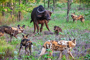 African wild dogs (Lycaon Pictus) surround a newborn Cape buffalo (Syncerus caffer) calf and its mother.  Zimbabwe. - Karine Aigner