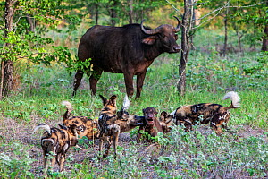 Pack of African wild dogs (Lycaon Pictus) attacking newborn Cape buffalo (Syncerus caffer) calf near its mother.  Zimbabwe. - Karine Aigner