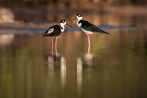 Black-necked stilt (Himantopus mexicanus) Cat Island, Bahamas.  -  Karine Aigner
