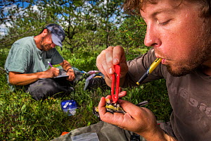 Biologist Nathan Cooper taking measurements from male Kirtland's warbler (Setophaga kirtlandii) before replacing previous nano tag with a new one.Michigan, USA. July 2017. - Karine Aigner