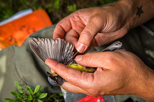 Biologist Nathan Cooper holding male Kirtland's warbler (Setophaga kirtlandii) before replacing previous nano tag with a new one. Michigan, USA. July 2017. - Karine Aigner