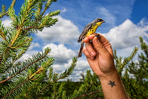 Portrait of a male Kirtland's warbler (Setophaga kirtlandii) held up in scientists hands, in breeding grounds of Jack Pine habitat. Michigan, USA, July 2017. - Karine Aigner