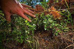 Researcher pulls back the undergrowth to reveal the ground nest of a Kirtland's warbler (Setophaga kirtlandii) family, Michigan, USA, July 2017. - Karine Aigner