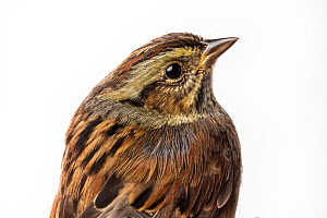 Portrait of a Swamp sparrow (Melospiza georgiana) with white background,  Block island, Rhode Island, USA. Bird caught during scientific research.  -  Karine Aigner