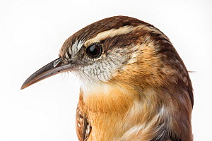 Portrait of a Carolina wren, (Thryothorus ludovicianus) with white background,  Block island, Rhode Island, USA. Bird caught during scientific research.  -  Karine Aigner