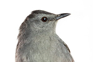 Portrait of a Gray catbird, (Dumetella carolinensis) with white background,  Block island, Rhode Island, USA. Bird caught during scientific research.  -  Karine Aigner