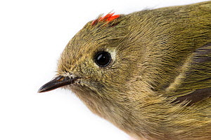 Portrait of a Ruby-crowned kinglet (Regulus calendula) with white background,  Block island, Rhode Island, USA. Bird caught during scientific research.  -  Karine Aigner