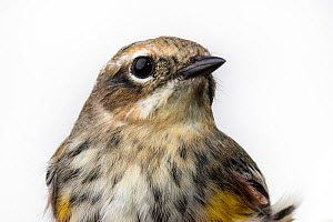 Portrait of a Myrtle warbler, (Dendroica coronata coronata) with white background,  Block island, Rhode Island, USA. Bird caught during scientific research. - Karine Aigner