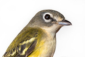 Portrait of a Blue-headed vireo, (Vireo solitarius) with white background,  Block island, Rhode Island, USA. Bird caught during scientific research.  -  Karine Aigner