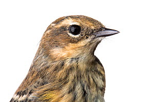 Portrait of a Myrtle warbler (Dendroica coronata coronata) with white background,  Block island, Rhode Island, USA. Bird caught during scientific research.  -  Karine Aigner