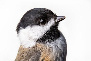 Portrait of a Black-capped chickadee, (Poecile atricapillus) with white background,  Block island, Rhode Island, USA. Bird caught during scientific research.  -  Karine Aigner