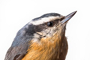 Portrait of a Red-breasted nuthatch, (Sitta canadensis) with white background,  Block island, Rhode Island, USA. Bird caught during scientific research.  -  Karine Aigner