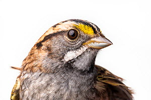 Portrait of a White-throated sparrow, (Zonotrichia albicollis) with white background,  Block island, Rhode Island, USA. Bird caught during scientific research.  -  Karine Aigner