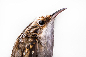 Portrait of a Brown creeper, (Certhia americana) with white background,  Block island, Rhode Island, USA. Bird caught during scientific research.  -  Karine Aigner