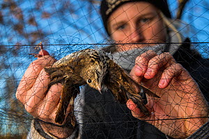 Volunteer, helping release a Hermit thrush (Catharus guttatus) from a mist net. The Thrush might be a possible cohort individual for a study on fat gain and antioxidants in diet before migration. Bloc... - Karine Aigner