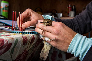 Biologist taking blood samples from Hermit thrush (Catharus guttatus) for scientific study looking at antioxidant capacity in blood and oxidative damage caused during migration.  Block island, Rhode I... - Karine Aigner