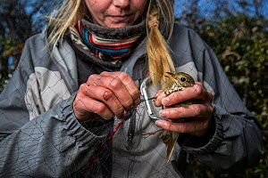 Research study assistant helping release a Hermit thrush (Catharus guttatus) from a mist net. The Thrush might be a possible cohort individual for a study on fat gain and antioxidants in diet before m... - Karine Aigner