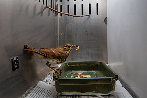 Hermit thrush (Catharus guttatus) captive during scientific study, with a wax worm. This bird is part of a study about weight gain, diet and condition prior to migration. Once the thrush has reached i...  -  Karine Aigner