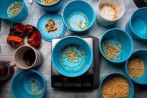 Wax worms are portioned out by weight as biologist studying Hermit thrush (Catharus guttatus). The food is weighed out to test how much food it takes for the birds to fatten adequately before migratio... - Karine Aigner
