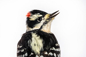 Portrait of a Downy woodpecker (Picoides pubescens) with white background,  Block island, Rhode Island, USA. Bird caught during scientific research.  -  Karine Aigner