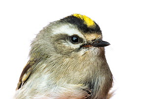 Portrait of a Golden-crowned kinglet (Regulus satrapa) with white background,  Block island, Rhode Island, USA. Bird caught during scientific research.  -  Karine Aigner