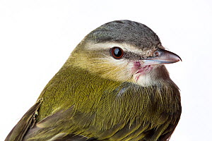 Portrait of a Red-eyed vireo (Vireo olivaceus) with white background,  Block island, Rhode Island, USA. Bird caught during scientific research.  -  Karine Aigner