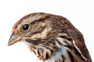 Portrait of a Song sparrow (Melospiza melodia) with white background,  Block island, Rhode Island, USA. Bird caught during scientific research.  -  Karine Aigner