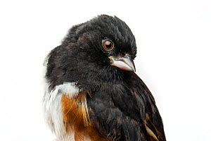 Portrait of a Eastern towhee (Pipilo erythrophthalmus) with white background,  Block island, Rhode Island, USA. Bird caught during scientific research.  -  Karine Aigner