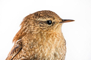 Portrait of a Winter wren (Troglodytes hiemalis) with white background,  Block island, Rhode Island, USA. Bird caught during scientific research.  -  Karine Aigner