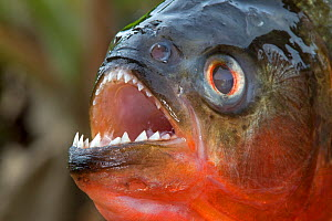 Red-bellied piranha or red piranha (Pygocentrus nattereri) out of water, close up of teeth, Rio Negro, Amazonas, Brazil. - Sylvain Cordier