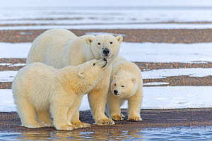 Polar bear (Ursus maritimus), female with two cubs, on a barrier island outside Kaktovik, Alaska, USA. - Sylvain Cordier