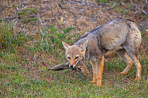 South American gray fox (Lycalopex griseus) adult eating a head of brown hare. Torres del Paine National Park, Patagonia, Chile. - Sylvain Cordier