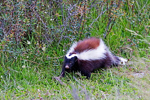 Humboldt's hog-nosed skunk (Conepatus humboldtii) Torres del Paine National Park, Patagonia, Chile. - Sylvain Cordier