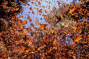 Monarch butterfly (Danaus plexippus), wintering from November to March in Oyamel pine forests (Abies religiosa)  Monarch Butterfly Biosphere Reserve, Mexico.  -  Sylvain Cordier