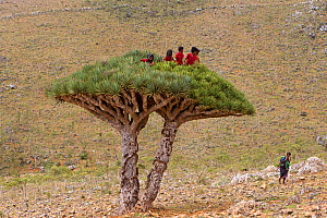 Children who have climbed to the top of a  Dragon tree (Dracaena Cinnabari) Socotra Island UNESCO World Heritage Site, Yemen.  -  Sylvain Cordier