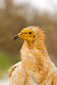 Egyptian vulture  (Neophron percnopterus) Socotra Island, UNESCO World Heritage Site, Yemen.  -  Sylvain Cordier