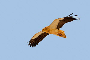 Egyptian vulture  (Neophron percnopterus) in flight, Socotra Island, UNESCO World Heritage Site, Yemen.  -  Sylvain Cordier
